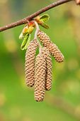 stock photo of hazelnut tree  - the image shows the blooming branch of a hazelnut tree