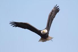 stock photo of eagles  - Adult Bald Eagle  - JPG