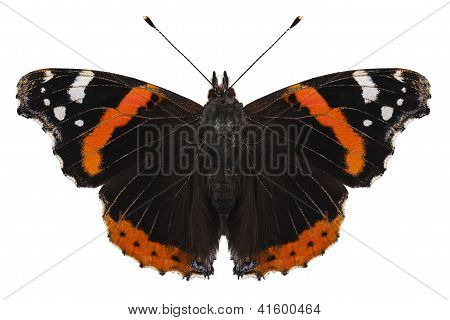 Butterfly Species Vanessa Atalanta