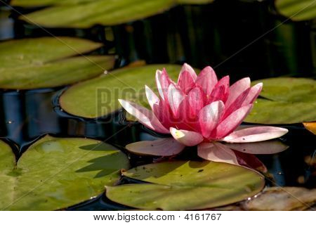 Pond With A Pink Flower