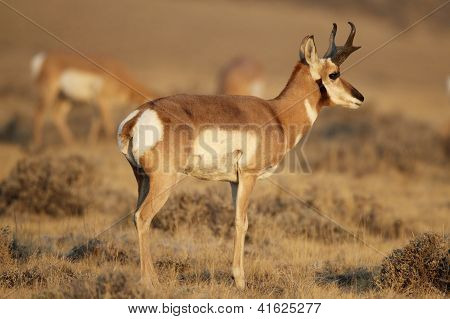 Single Adult Male Pronghorn