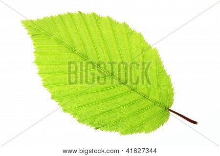 Leaf of a hornbeam tree (Carpinus betulus)