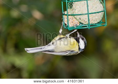 Tomtit With Fodder