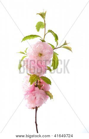pink flowers  isolated on white background. Amygdalus triloba. very shallow depth of field.