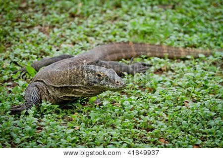 komodo dragon in Rinca Island, Indonesia