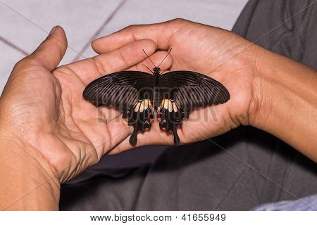 Female Common Mormon (papilio Polytes Romulus) Butterfly
