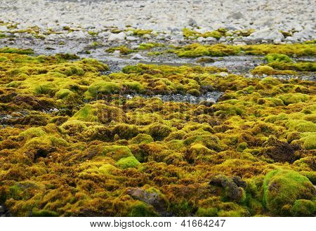 Green moss growing at Spitsbergen (Svalbard)