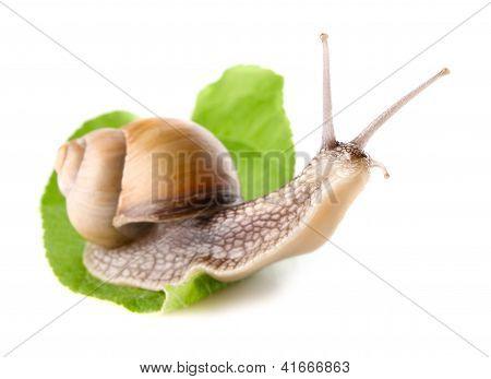 Garden Snail (helix Aspersa) On Green Leaf