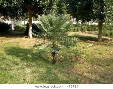Little Palm Tree