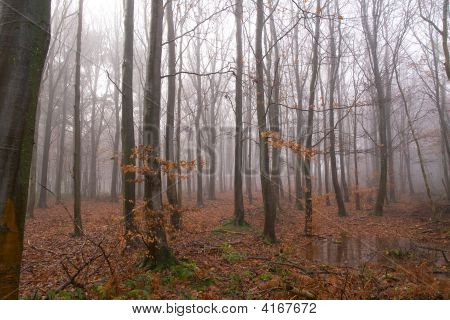 Woodland In Wet & Mist