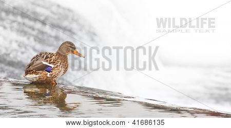 The Mallard or Wild Duck (Anas platyrhynchos). Female bird standing over the waterfall. Picture with space for your text.