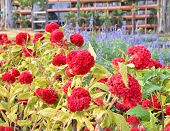 pic of celosia  - Beautiful red celosia flower in morning garden - JPG