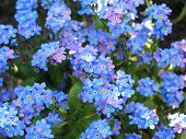 image of forget me not  - forget me not as a background - JPG