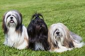 Portrait Of Three Purebred Lhasa Apso  On Green Grass poster