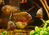 stock photo of piranha  - Red piranha  - JPG