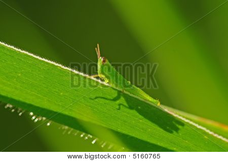 Green Grasshopper And Grass In The Parks