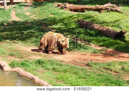 Large brown bear