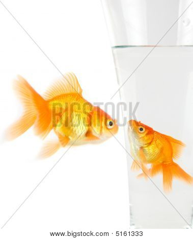 Two Gold Fish