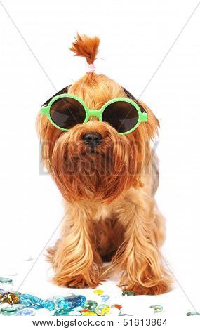 Yorkshire Terrier Portrait In Sunglasses Isolated On White