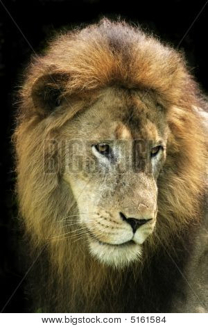 Lion Front Portrait