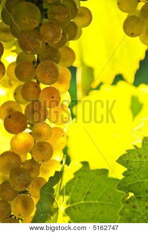 Gelbe Trauben