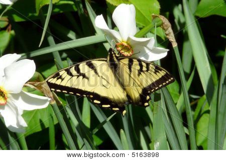Yellow & Black Butterfly On Flowers