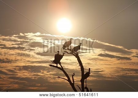 African Scavengers Share a Tree