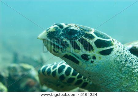 Hawksbill Turtle Looking Back