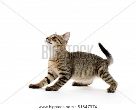 Cute Tabby Kitten