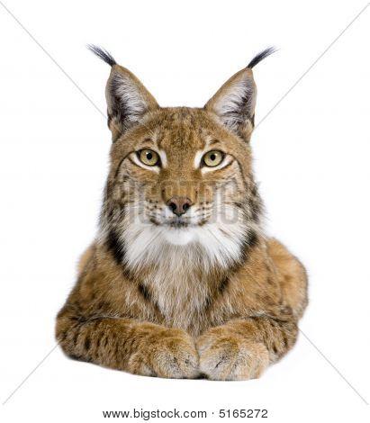 Eurasischer Luchs Lynx Lynx (5 Jahre)