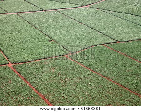 Aerial Of Sugarcane Crops Fields