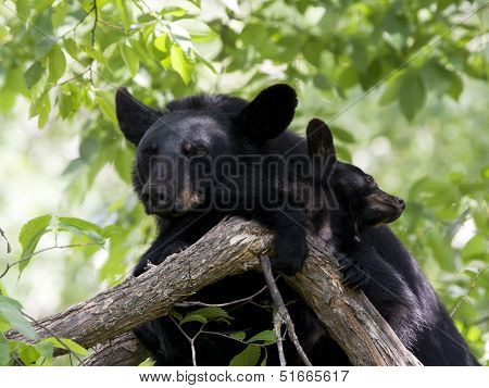 Momma Bear and Baby Snuggling