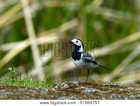 The Wagtail  (Motacilla alba)