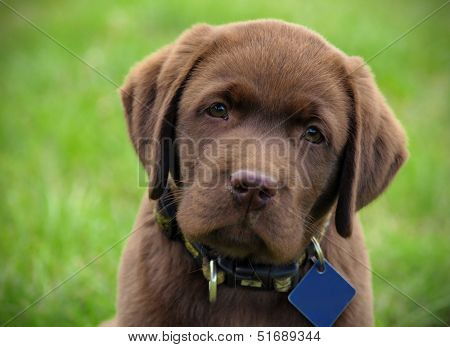 Cute chocolate labrador puppy