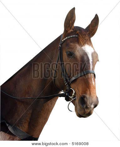 Racehorse Portrait