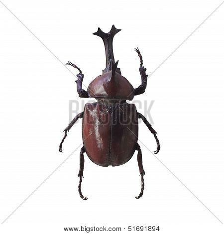 Allomyrina Dichotoma