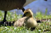 picture of mother goose  - Baby goose nestled in the grass with her mother close behind - JPG