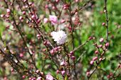 Buds Of Flowering Almond Ornamental Shrub