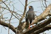 pic of goshawk  - A Dark Chanting Goshawk surveying from from a tree - JPG