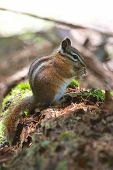 stock photo of chipmunks  - Chipmunk eating nut on log in forest