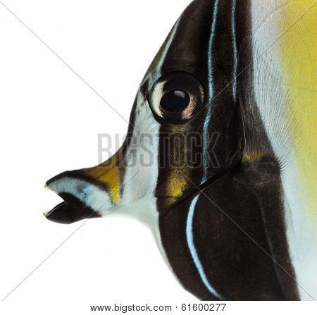 Close-up of a Pennant Coralfish's profile, Heniochus acuminatus, isolated on white