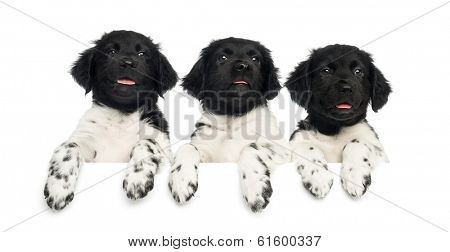 Three Stabyhoun puppies leaning on a white board, panting, isolated on white