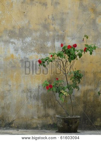 Rose bush in pot against old weathered yellow wall