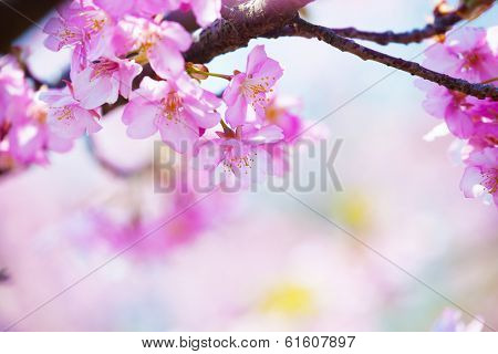 bright pink cherry blossoms in soft pastel pink, blue and yellow background.