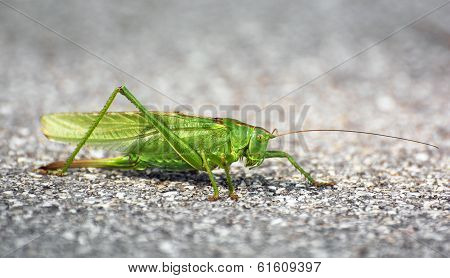 Big Green Grasshopper