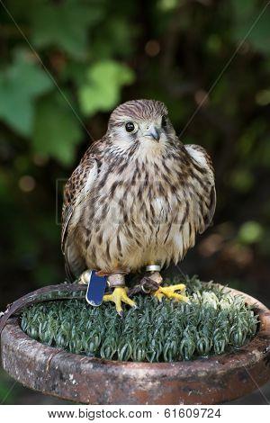 The Common Kestrel (falco Tinnunculus)
