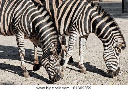 Two Chapmans Zebras (equus Quagga Chapmani)