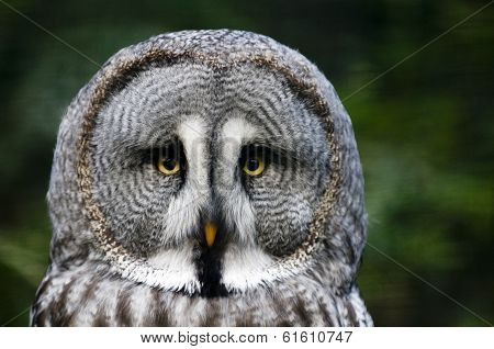 Siberian Gray Owl