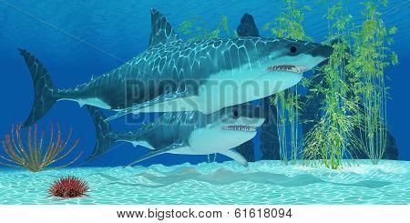 Pleistocene Megalodon Shark