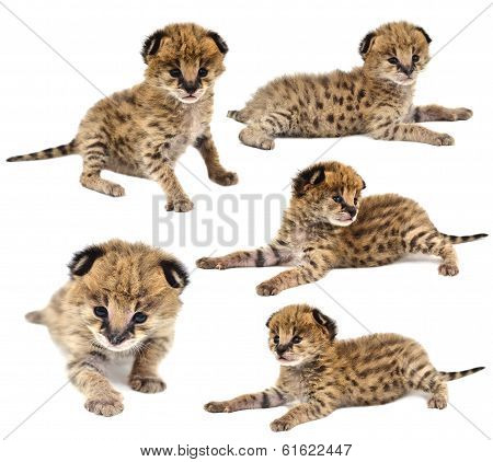 Collection Of Baby Serval Isolated